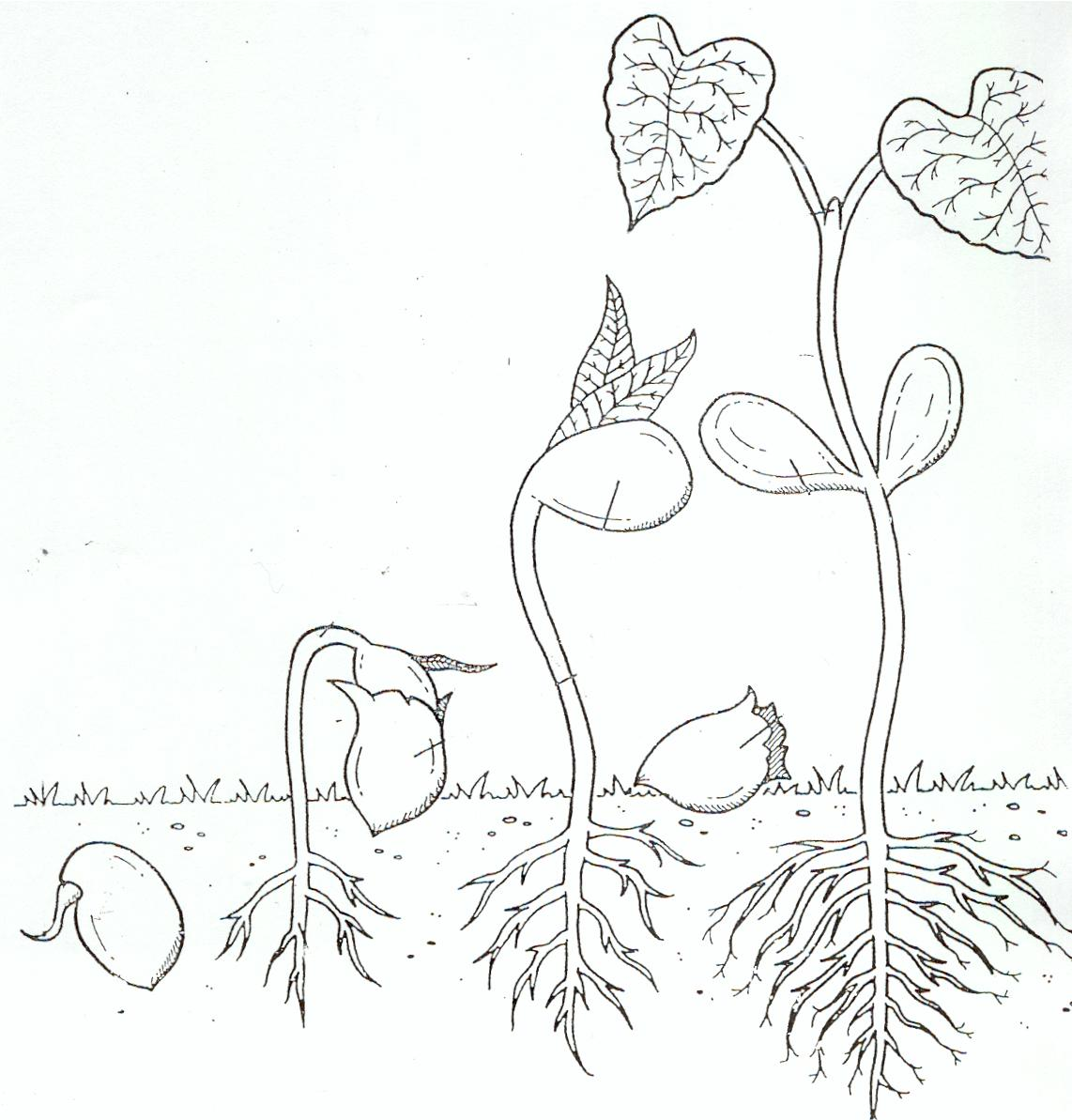 coloring pages seeds and plants - photo #32
