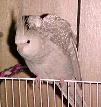 Gainesville Cockatiel Rescue Calypso