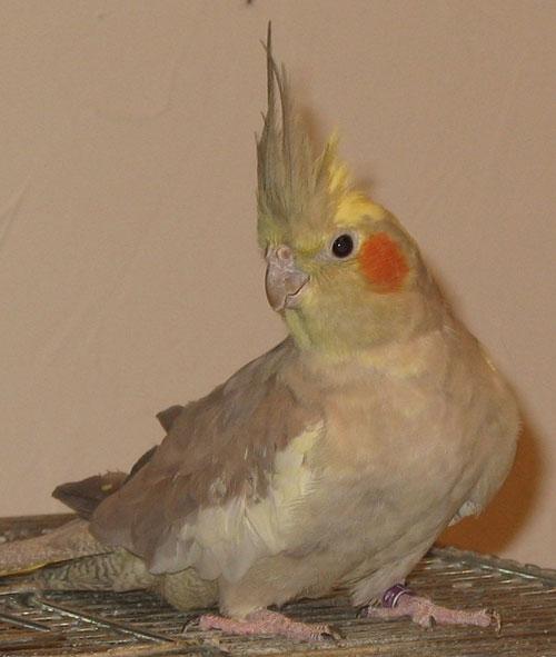 Cockatiels Losing Feathers Around The Beak