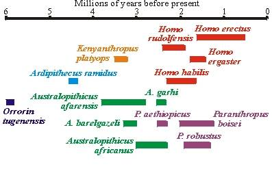 Hominid Evolution Timeline hominid evolution timeline
