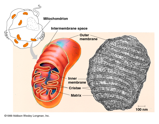 an introduction to the organelle the mitochondrion Introduction this lecture introduces the cytoplasmic organelles that produce the  energy required for cellular processes to occur.